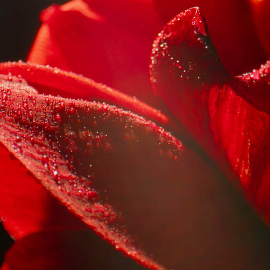 8K premium royalty-free stock footage shot on RED Camera, instantly available in RED R3D format. License this collection of Flower Macro now!