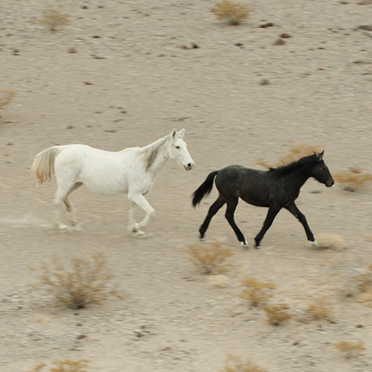 8K premium royalty-free stock footage shot on RED Camera, instantly available in RED R3D format. License this collection of Wild Horses On The Desert now!